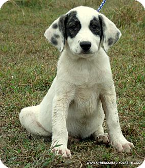Bullmastiff/Great Pyrenees Mix Puppy for adoption in parissipany, New Jersey - Bandit/ADOPTED