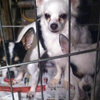Chihuahua Dog for adoption in Tonopah, Arizona - SISTERS