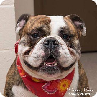English Bulldog Dog for adoption in Columbus, Ohio - Champ