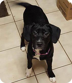 Labrador Retriever/Border Collie Mix Dog for adoption in Akron, Ohio - Lilo