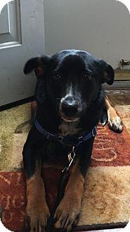 Australian Shepherd Mix Puppy for adoption in South Park, Pennsylvania - Henry