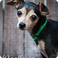 Adopt A Pet :: Apollonia - Newport, KY