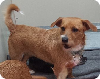 Terrier (Unknown Type, Small) Mix Dog for adoption in Westminster, California - Jasmine