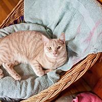 Adopt A Pet :: Vixen - Statesville, NC