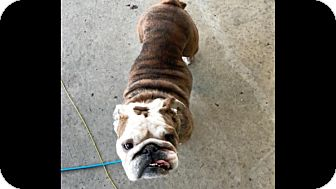 English Bulldog Dog for adoption in Columbus, Ohio - Madelyn
