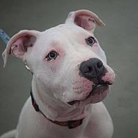 Adopt A Pet :: Powder - Painted Post, NY
