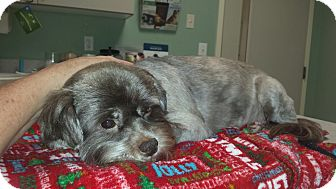 Lhasa Apso Mix Dog for adoption in Nashville, Tennessee - COURTESY POST: Lacey