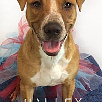 Adopt A Pet :: Halley - Toledo, OH