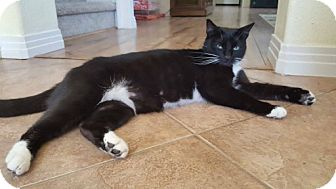 Domestic Shorthair Cat for adoption in Fallbrook, California - Belle