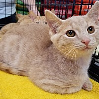 Domestic Shorthair Kitten for adoption in Toast, North Carolina - Shaggy