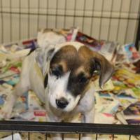 Adopt A Pet :: 36558273 - Cleveland, AL