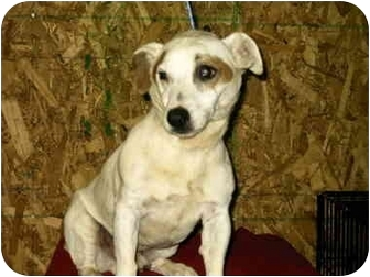 Jack Russell Terrier Dog for adoption in Baltimore, Maryland - Mick