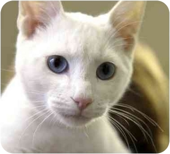 Domestic Shorthair Kitten for adoption in Phoenix, Oregon - Casper