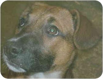 German Shepherd Dog/Boxer Mix Puppy for adoption in Lafayette, Indiana - Katie