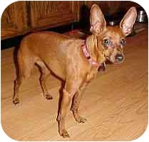 Miniature Pinscher Dog for adoption in Florissant, Missouri - Sweet Pea