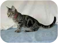 Domestic Shorthair Cat for adoption in Powell, Ohio - Isador