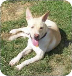 Pit Bull Terrier/Shepherd (Unknown Type) Mix Dog for adoption in Appleton, Wisconsin - Fred