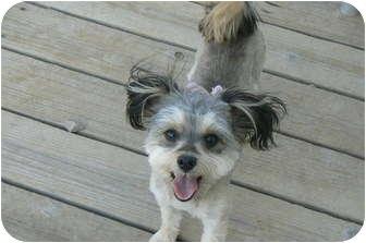 Yorkie, Yorkshire Terrier/Schnauzer (Miniature) Mix Dog for adoption in Thatcher, Arizona - Margarita