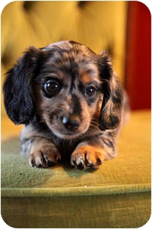 Dachshund Puppy for adoption in waterbury, Connecticut - Hershey