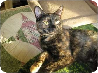 Calico Cat for adoption in Cincinnati, Ohio - Agatha