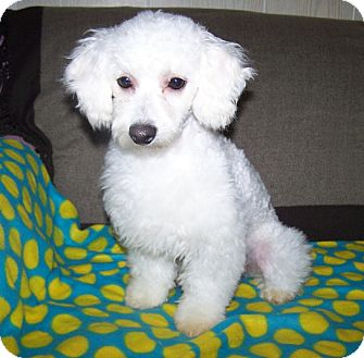 Poodle (Miniature)/Bichon Frise Mix Dog for adoption in Antioch, Illinois - Wally