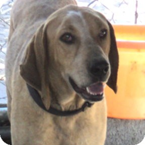 Hound (Unknown Type)/Coonhound Mix Dog for adoption in Pie Town, New Mexico - CLINT
