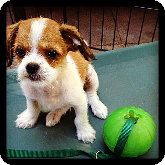 Terrier (Unknown Type, Small)/Terrier (Unknown Type, Small) Mix Puppy for adoption in Los Angeles, California - Stackhouse