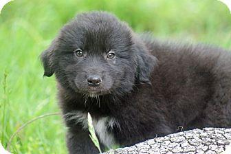 Australian Shepherd/Border Collie Mix Puppy for adoption in Austin, Texas - Choctaw