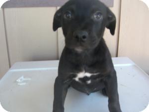 Labrador Retriever/Chesapeake Bay Retriever Mix Puppy for adoption in Kelseyville, California - Len