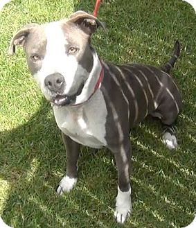 American Staffordshire Terrier/Pit Bull Terrier Mix Dog for adoption in Calgary, Alberta - Ruby