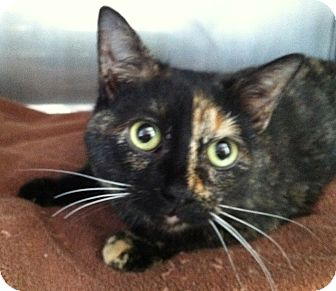Domestic Shorthair Kitten for adoption in Greensburg, Pennsylvania - Louise