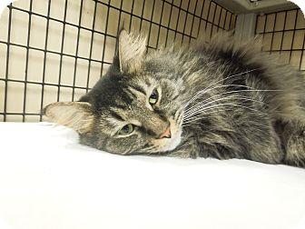 Maine Coon Cat for adoption in Medina, Ohio - Boone
