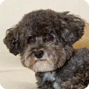 Bichon Frise Mix Dog for adoption in La Costa, California - Desi