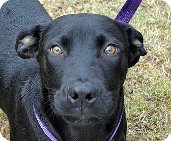 Labrador Retriever Mix Dog for adoption in Searcy, Arkansas - Buster