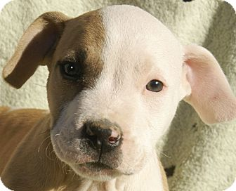 American Pit Bull Terrier Mix Puppy for adoption in Spring Valley, New York - Romeo