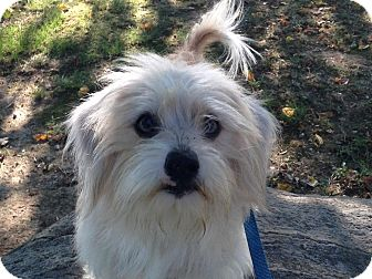 Maltese Mix Dog for adoption in Hagerstown, Maryland - George