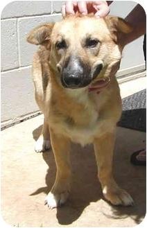 Shepherd (Unknown Type)/Corgi Mix Dog for adoption in Sacramento, California - Lizzie!