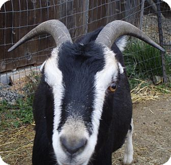 Goat for adoption in Quilcene, Washington - Barney