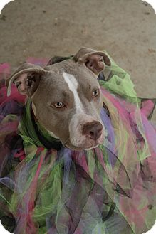 American Pit Bull Terrier/American Staffordshire Terrier Mix Dog for adoption in Sacramento, California - Fancy!