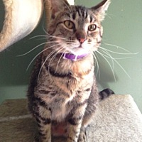 Domestic Shorthair Cat for adoption in O'Fallon, Missouri - Aubrey