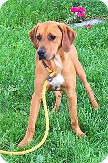 Redbone Coonhound Mix Dog for adoption in Springfield, Illinois - Gunner
