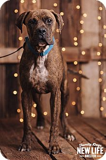 Boxer/Mastiff Mix Dog for adoption in Portland, Oregon - Phoenix