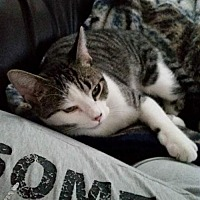 Adopt A Pet :: 2 Cats - Need Foster* - Trexlertown, PA
