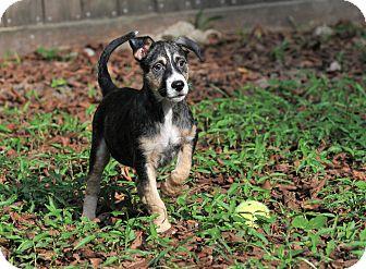 Border Collie/Australian Shepherd Mix Puppy for adoption in Gorham, Maine - Gilligan