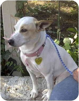 Jack Russell Terrier Dog for adoption in Encino, California - JESSE
