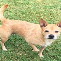 Border Terrier/Cairn Terrier Mix Dog for adoption in Missouri City, Texas - Camilia