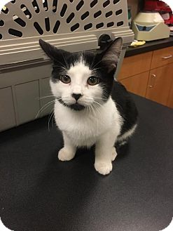 Domestic Shorthair Kitten for adoption in Chicago, Illinois - Odin