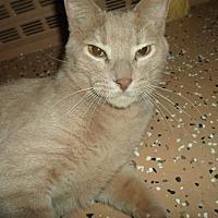 Domestic Shorthair Cat for adoption in Montello, Wisconsin - Tobias