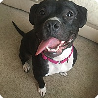 Pit Bull Terrier Mix Dog for adoption in Frankfort, Illinois - Manny Mae