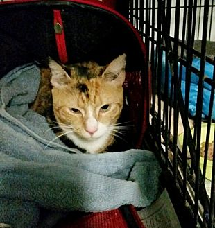 Domestic Shorthair Cat for adoption in Queens, New York - Summer